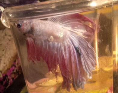 Betta hlth f 34 for Betta fish swim bladder