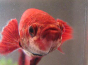 Faqs on betta diseases 7 for Betta fish fungal infection