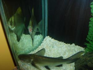 silver tipped shark  ... Catfishes, aka Columbian,