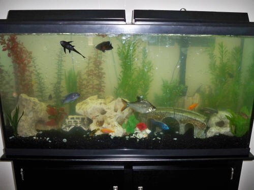 Faqs on african cichlid diseases 8 for Why is my fish tank water cloudy