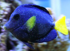 Help With My Niger Trigger Saltwaterfish Forum
