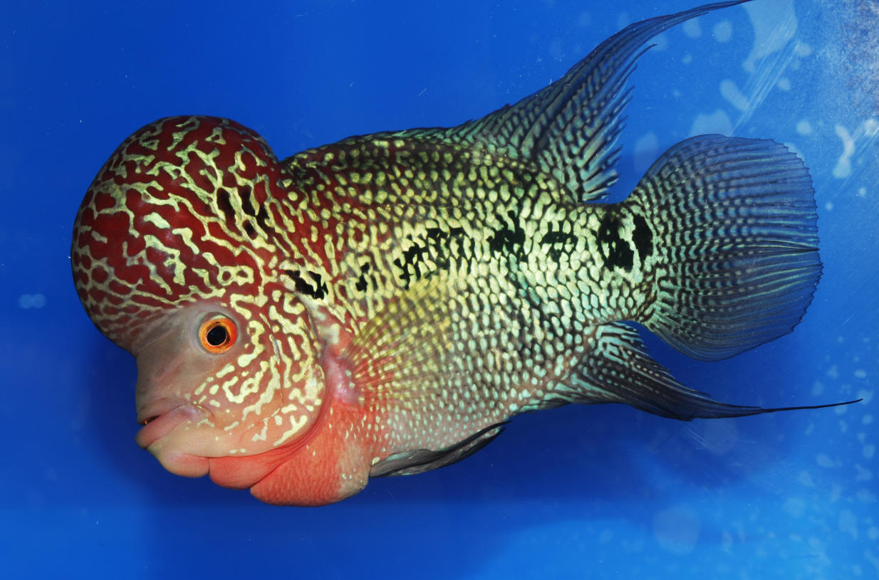 Flowerhorn Cichlid... A cross that has enduring popularity ...