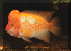 Lf green texas red devil red texas cichlid for Red devil fish