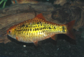 Faqs on the smaller dwarf barbs golds checkers cherries for Gold barb fish